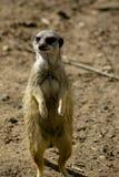 Meerkat on hind legs stock image