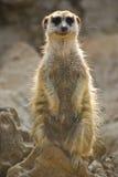 Meerkat Hinweissymbol Lizenzfreies Stockfoto