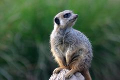 Meerkat on his watch. Grey Meerkat standing erect on his watch on a rock Royalty Free Stock Photo