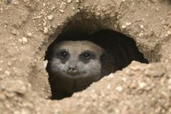 Meerkat in hole Stock Photo