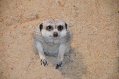 Meerkat in hole Royalty Free Stock Photo