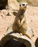 Meerkat on hollow log Stock Photos