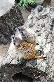 Meerkat houdt horloge in de hemel stock afbeelding