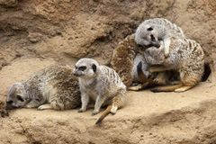Meerkat Huddle Royalty Free Stock Photography