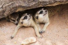 Meerkat i öppen zoo Royaltyfri Foto