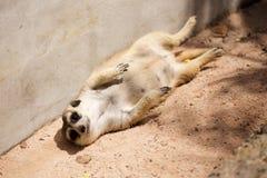 Meerkat i öppen zoo Arkivbilder