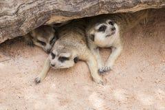 Meerkat i öppen zoo Fotografering för Bildbyråer