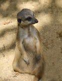 Meerkat i en zoo Arkivfoton