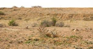 Meerkat i fält Arkivfoton