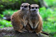 Meerkat i natur Arkivfoto