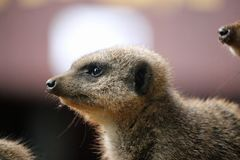 Meerkat i slut upp Fotografering för Bildbyråer