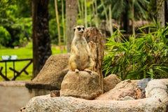 Meerkat i Thailand Royaltyfri Fotografi