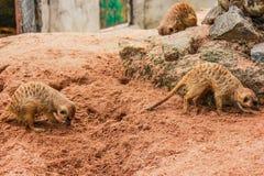 Meerkat i Thailand Royaltyfri Bild