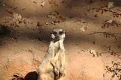 Meerkat i zoo i Tyskland i nuremberg royaltyfria foton