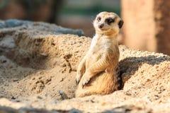 Meerkat i zooen Fotografering för Bildbyråer