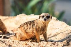 Meerkat i zooen Royaltyfri Fotografi