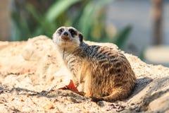 Meerkat i zooen Royaltyfri Bild
