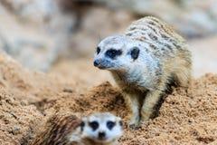 Meerkat i zooen Arkivbilder