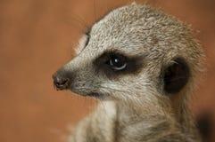 Meerkat II Imagenes de archivo