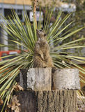 Meerkat im Zoo Lizenzfreie Stockfotos