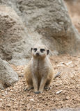 Meerkat im Zoo Lizenzfreie Stockfotografie