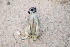 A meerkat - inhabitant of the desert Royalty Free Stock Photography