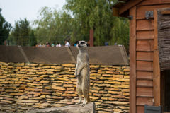 A meerkat - inhabitant of the desert Royalty Free Stock Photos