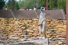 A meerkat - inhabitant of the desert Royalty Free Stock Image