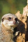 Meerkat inquisitivo Fotos de archivo libres de regalías