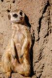 Meerkat intéressé occasionnel Images libres de droits