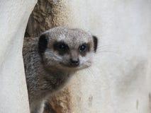 Meerkat intrometido imagem de stock royalty free