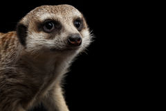 Meerkat isolated on black background Stock Photography