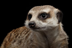 Meerkat isolated on black background Royalty Free Stock Image