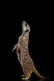 Meerkat isolated on black background Stock Images