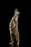 Meerkat isolated on black background Stock Photos