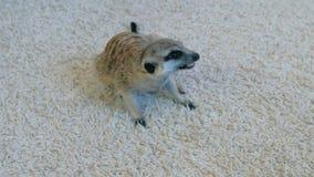 Meerkat isst eine Madagaskar-Schabe auf einem weißen Teppich zu Hause stock footage