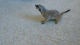 Meerkat isst eine Madagaskar-Schabe auf einem weißen Teppich zu Hause stock video footage