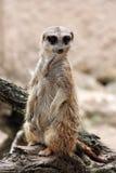 Meerkat jest przyglądający zdjęcie royalty free