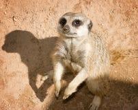 Meerkat and jis shadow Stock Photos