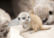 Meerkat joven Imagen de archivo libre de regalías