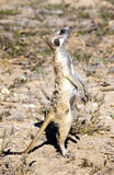 Meerkat in Kalahari Royalty Free Stock Images