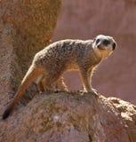 Meerkat - Kalahari Desert - Botswana Stock Photography