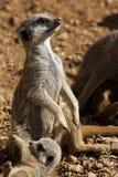 Meerkat - Kalahari Desert - Botswana Stock Photos