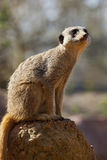 Meerkat - Kalahari Desert - Botswana. A male Meerkat (Suricata suricatta) on lookout duty in the Kalahari Desert in southern Botswana Royalty Free Stock Image