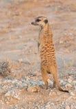 Meerkat in the Kalahari Royalty Free Stock Photography