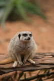 Meerkat. A meerkat keeping a watchful eye stock photo