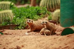 Meerkat is a kind of slender body with short limbs, small head, small ears, tip of mouth, feeding on snakes, frogs, fish, crabs, e. Tc. It also feeds on wild stock images