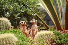Meerkat is a kind of slender body with short limbs, small head, small ears, tip of mouth, feeding on snakes, frogs, fish, crabs, e. Tc. It also feeds on wild royalty free stock photo