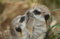 Meerkat kiss Royalty Free Stock Images