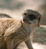 Meerkat la sentinelle dans le zoo Images libres de droits
